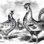 Houdan: Hahn und Henne, von 1867
