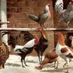 oben: Zwergkämpfer, silberhalsig, und Sebright, silber; von links: Sebright, Zwergkämpfer, silberhalsig, goldhalsig, rotgesattelt; von W. Hoffmann 1896