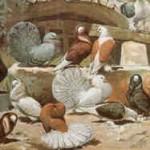 oben: Pfautauben, Perückentaube, Schildtaube; unten: Perückentauben, Pfautauben, Schildtaube, Perückentauben, nach Hoffmann 1896