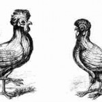 Paduaner: Hahn und Henne, aus U. Aldrovandis Ornithologica, 1610
