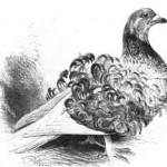 Lockentaube, rotschimmel, von 1891