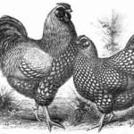 Wyandotten, Hahn und Henne, silber, erster Farbenschlag dieser Rasse, um 1890