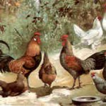 von links: Bankiva-Wildhühner, 5. von links: Sonnerat-Wildhuhn, weiße federfüßige Zwerge, Sperber-Zwerge, 1896, von W. Hoffmann; Archiv Detering