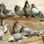 unten, von links: Eistauben, sibirische Taube, dahinter Feldtauben; ganz rechts: Uraltaube; oben: geschuppte Tauben, Felsentaube. Zeichnung nach W. Hoffmann, 1896, Archiv Detering
