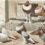 Links: Riesenkröpfer, englischer Kröpfer, Riesentaube; oben: englische Kröpfer; W. Hoffmann, 1896, Archiv Detering