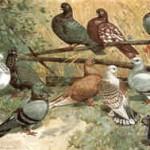 von links: Mövchen, weiß, schwarz und blau, Almondtümmler, gelb, Satiette, Damascener, Blondinette; oben: Almondtümmler; W. Hoffmann, 1896, Archiv Detering