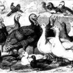 Rassegeflügel aus der Gründerzeit 1855 - 1869
