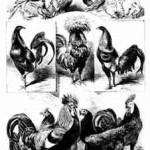 von links: Italiener, gesperbert, deutsche Landhühner, goldfarbig, Italiener, weiß; oben: Krüper, rosenkämmig; W. Hoffmann, 1896; Archiv Detering