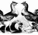 Die ersten Cochin 1843 in Europa