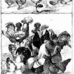 """Rassegeflügel aus der Gründerzeit 1855 - 1869 aus """"The Illustrated London News"""""""