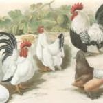 Chabos (japanische Zwerghühner), shiro und silberhalsig, von J. Bungartz, 1880, Archiv Detering